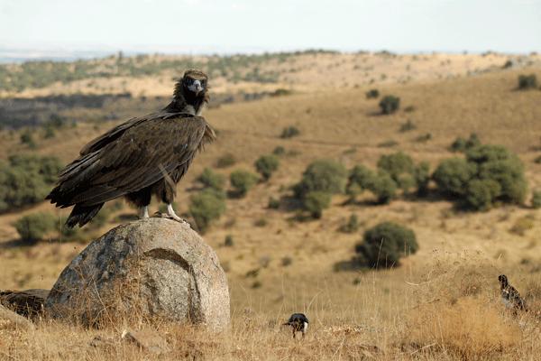 Buitre negro Sierra de Aracena